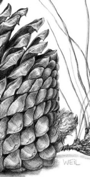 pine cone side