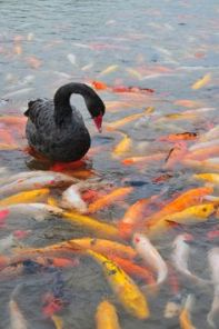 above below duck and fish