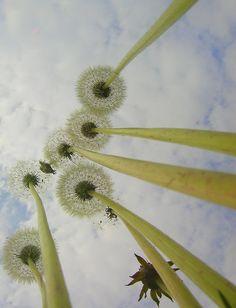 dandelions below