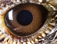 eye - alouette