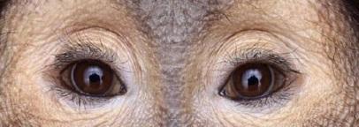 eye - ape 1