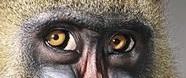 eye - ape 3