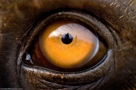 eye - baboon