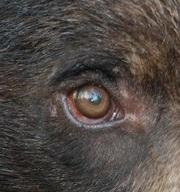 eye - bear 1
