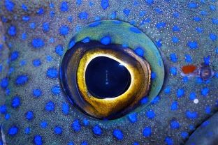 eye - blue devil fish