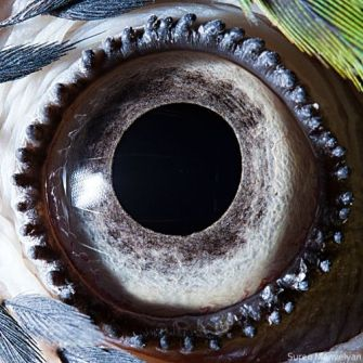 eye - blue yellow macaw parrot