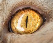 eye - cat 1