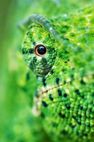eye - chameleon 2