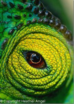 eye - chameleon 3