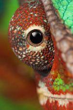 eye - chameleon 4