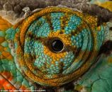 eye - chameleon 5