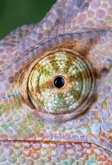 eye - chameleon