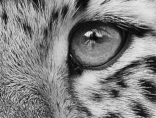 eye - cheetah 1