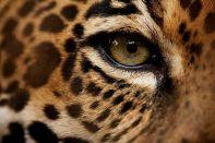 eye - cheetah 2