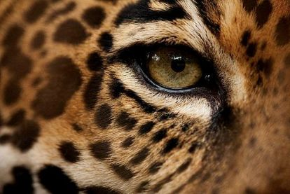 eye - cheetah 2