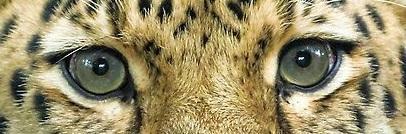 eye - cheetah 3