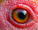 eye - chicken 2