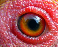 eye - chicken 2