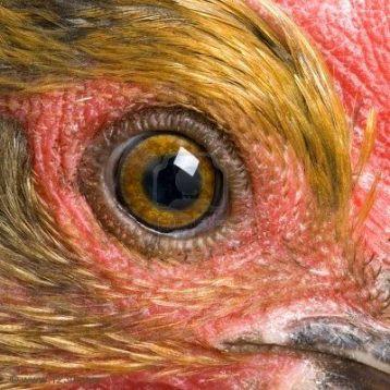 eye - chicken