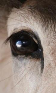 eye - deer