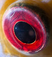 eye - discus fish