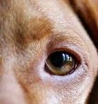 eye - dog 7