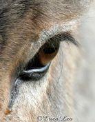 eye - donkey