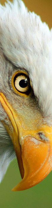 eye - eagle