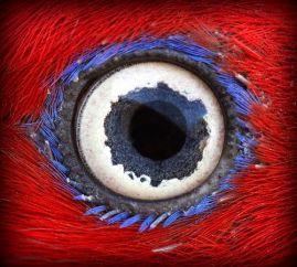 eye - electus parrot