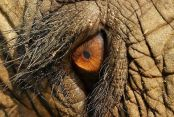 eye - elephant 2