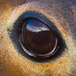 eye - elephant seal