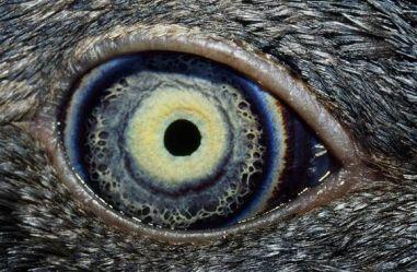 eye - fairy penguin