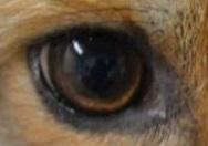 eye - fox 1