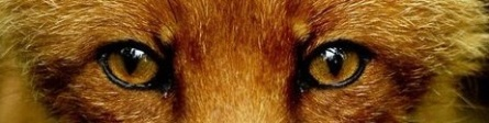 eye - fox 2