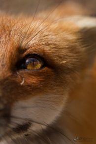 eye - fox 3