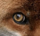 eye - fox 4