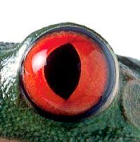 eye - frog 2