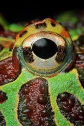 eye - frog 3