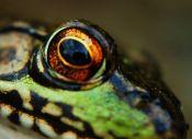 eye - frog