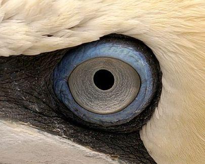 eye - gannet bird