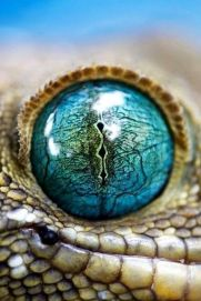 eye - gecko 2