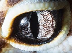 eye - gecko