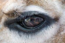 eye - giraffe 1