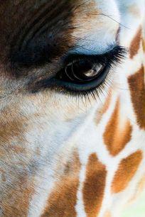 eye - giraffe 2