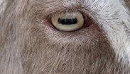 eye - goat