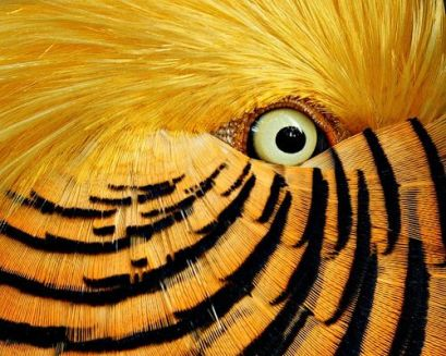 eye - golden pheasant