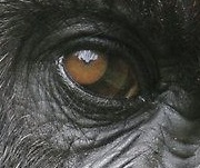 eye - gorilla 1
