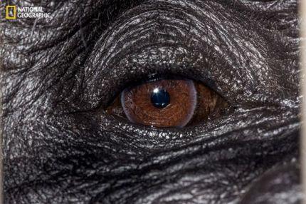 eye - gorilla 2