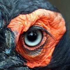 eye - ground hornbill