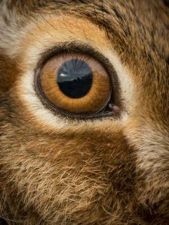 eye - hare
